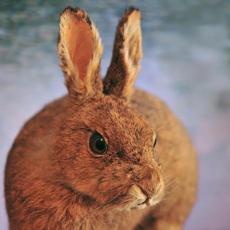 ニホンノウサギの画像 p1_29