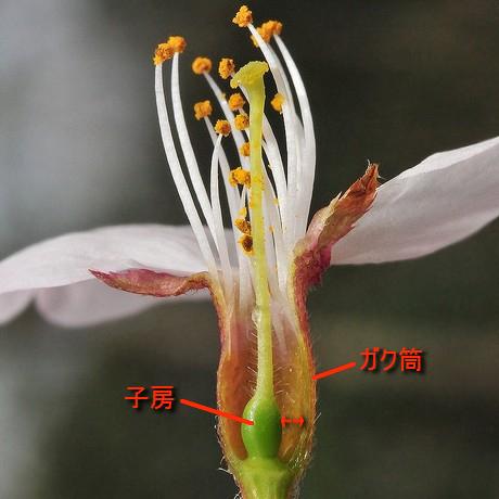 Sakura100411_2