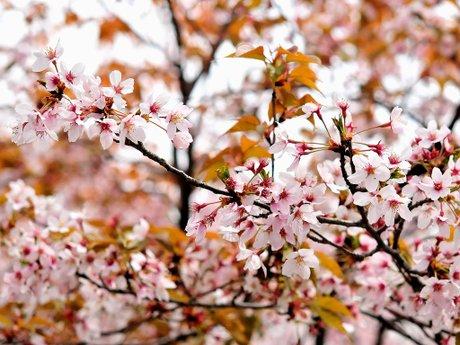 Sakura100411_3