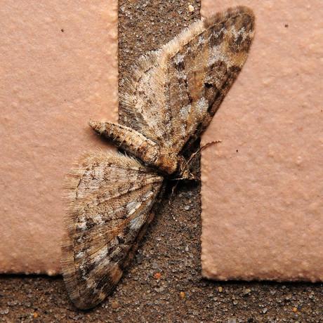 Eupithecia120329_1