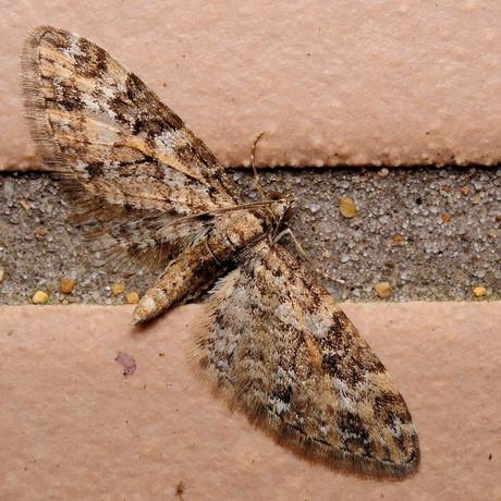 Eupithecia120329_2