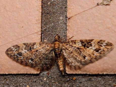 Eupithecia120329_3