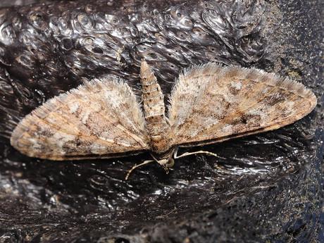 Eupithecia120329_4