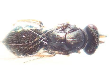 Tetrastichinae130220_1