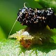 39 ヒメジンガサハムシ(幼虫)