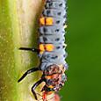 18 ナナホシテントウ(幼虫)