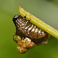 39 ヤマイモハムシ(幼虫)