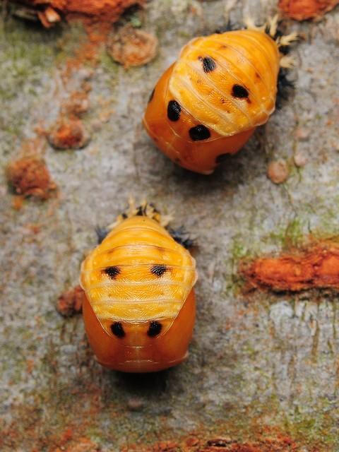 18 ナミテントウ(蛹)