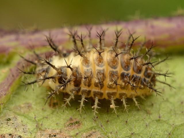 18 ニジュウヤホシテントウ(幼虫)