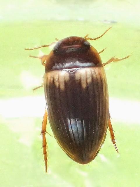 06 セスジゲンゴロウ属の一種