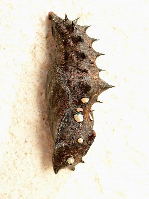 30 ツマグロヒョウモン(蛹)