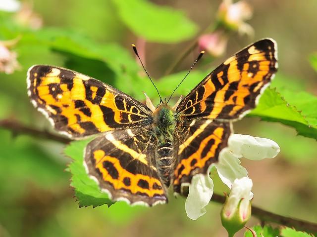 33 サカハチチョウ(春型 メス)