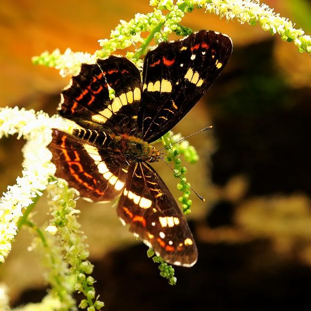 33 サカハチチョウ(夏型)