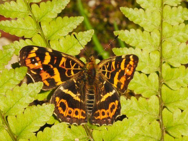 33 サカハチチョウ(春型 オス)