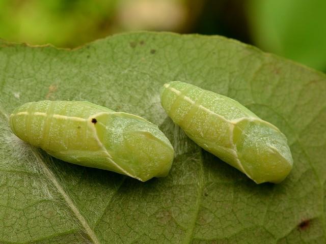 5 テングチョウの蛹