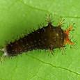 R11 アオスジアゲハ(1齢幼虫)