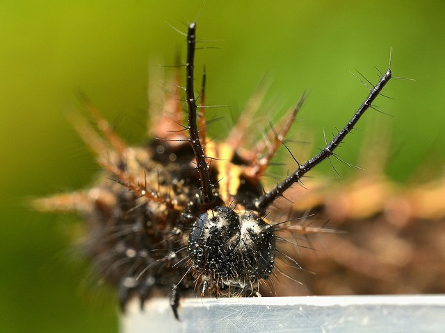 R30 ミドリヒョウモンの幼虫