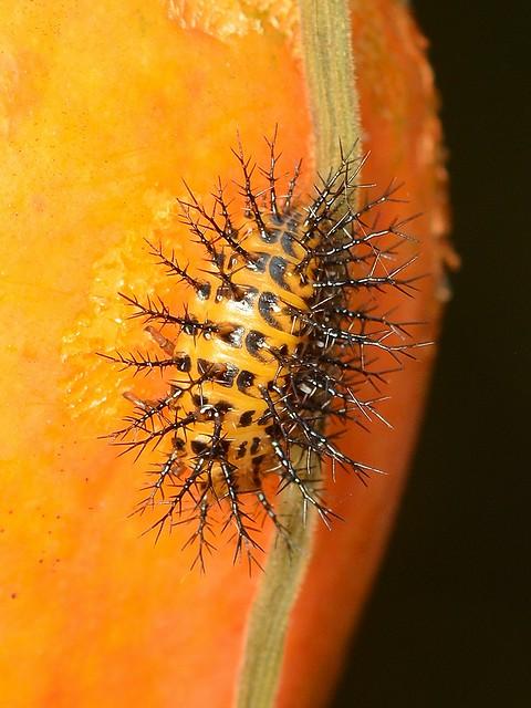 B18 トホシテントウの幼虫