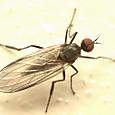 34 オドリバエ科Rhamphomyia属の一種