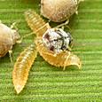 156 ショクガタマバエの幼虫