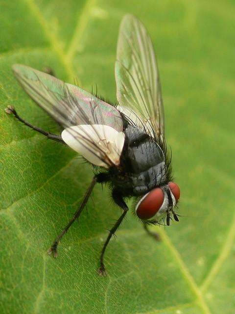 99 Compsoptesis sp.