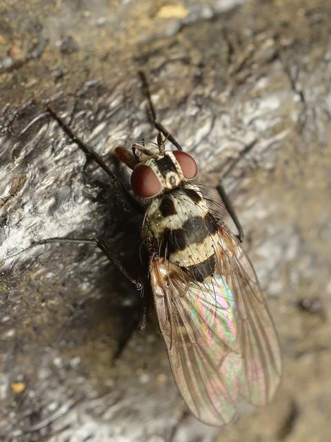92 ハナバエ属(Anthomyia)の一種