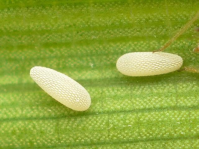 40 ヒラタアブの仲間の卵