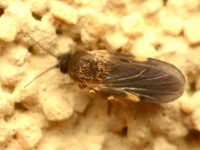 09 ヌカカ科 ?Forcipomyia bipunctata
