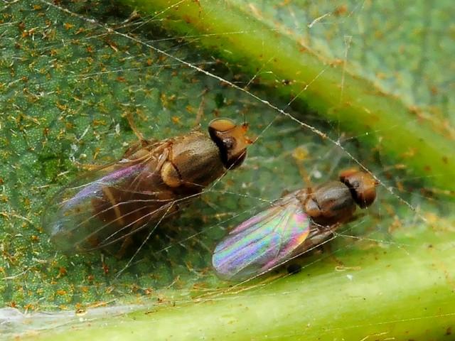 80 キモグリバエ科の一種