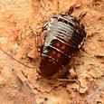 11 ヒメクロゴキブリ