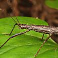 31 トゲナナフシ(幼虫)