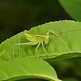44 ヤブキリ(幼虫)