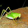 48 ヤマクダマキモドキ(メス)の幼虫