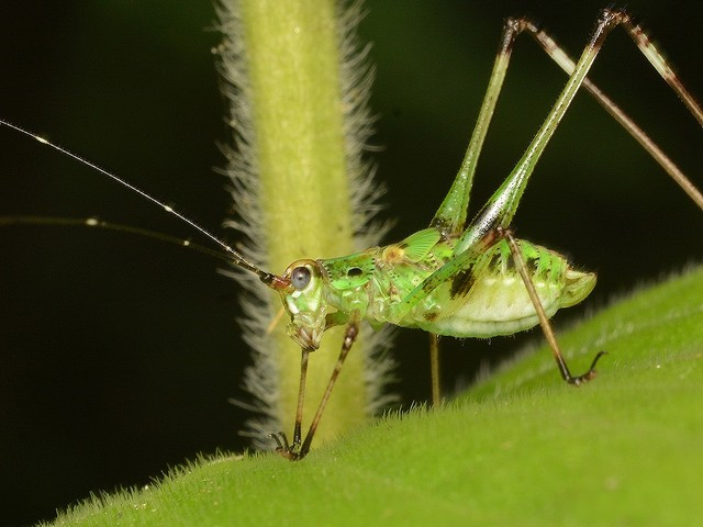 48 アシグロツユムシ(幼虫)