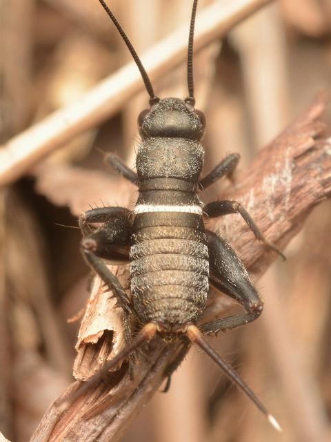 49 エンマコオロギ(幼虫)