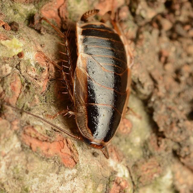 11 モリチャバネゴキブリ