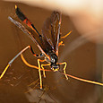 5535 アメバチ亜科の一種