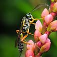 55 ヒメバチ科チビアメバチ亜科の一種