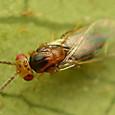 49 ヒメコバチ科 Sigmophora brevicornis
