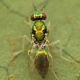 49 ヒメコバチ科 Chrysocharis属の一種