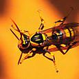 81 キアシナガバチ