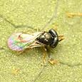 39 コガネコバチ科 Acroclisoides属の一種