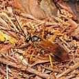 74 キバネトゲアシクモバチ