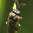 07 マツハバチ科の一種