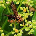 74 ナミモンクモバチ(メス)