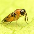 50 ノミコバチ科の一種(Elasmus sp.)