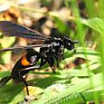 74 オオモンクロクモバチ