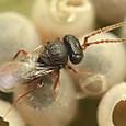 30 タマゴクロバチ科 Trissolcus mitsukurii (オス)