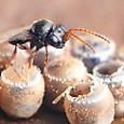 30 タマゴクロバチ科 Trissolcus属の一種