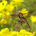 81 ヤマトアシナガバチ